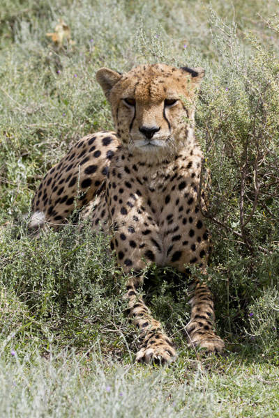 Photograph - Red Cheetah Portrait by Chris Scroggins