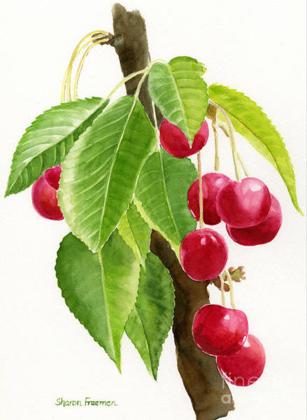 Fruit Trees Wall Art - Painting - Red Cherries On A Branch by Sharon Freeman