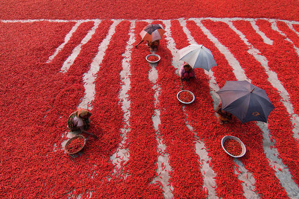 Dry Photograph - Red Chilies Pickers by Azim Khan Ronnie
