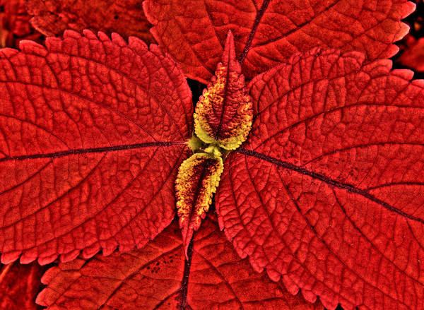 Photograph - Red Coleus by Rob Huntley