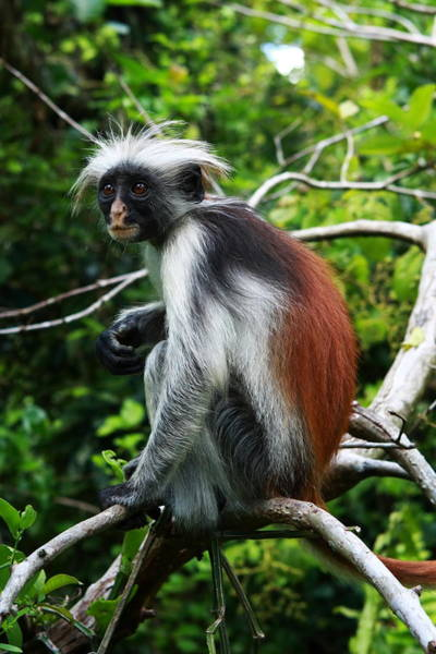 Photograph - Red Colobus Monkey by Aidan Moran
