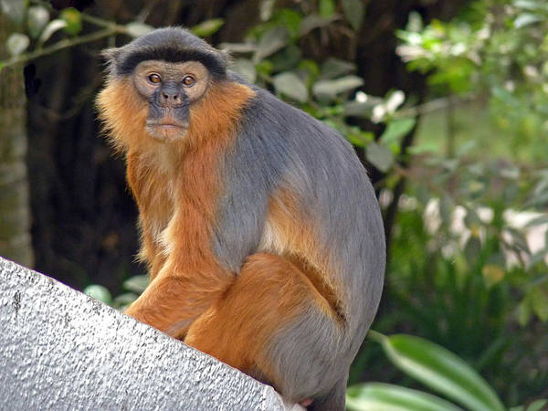 Photograph - Red Colobus Monkey by Tony Murtagh