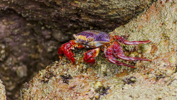Crab Photograph - Red Crab by Aged Pixel
