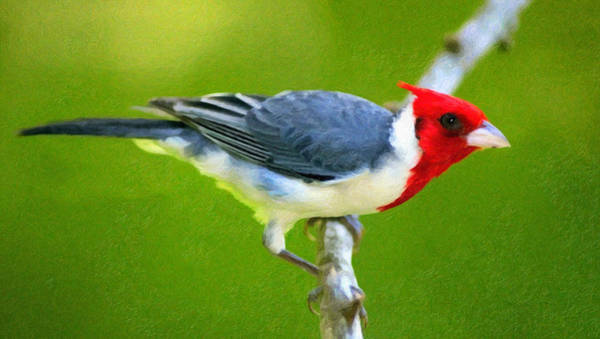 Photograph - Red Crested Cardinal by Isabella Howard