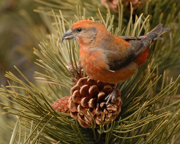 Crossbill Photograph - Red Crossbill by Amy Gerber