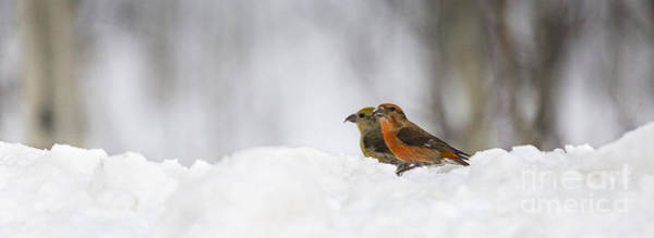 Crossbill Photograph - Red Crossbill Pair In Snow by Mike Cavaroc