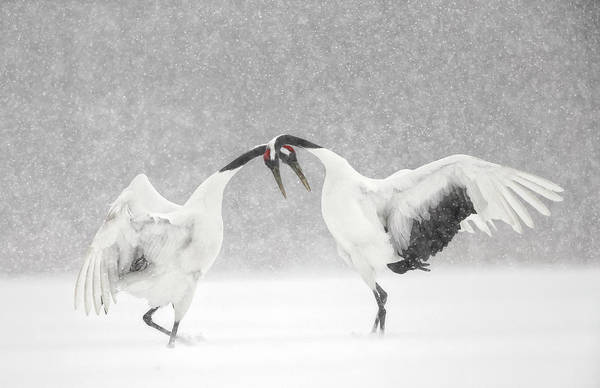Horizontal Landscape Photograph - Red Crowned Crane Courtship Dance by Paul & Paveena Mckenzie