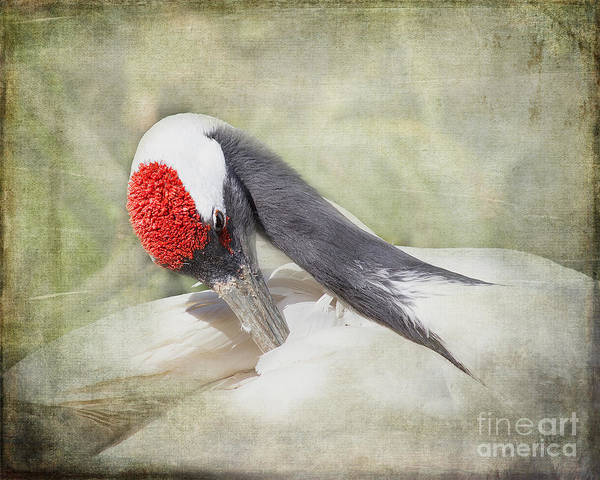 Houston Zoo Photograph - Red-crowned Crane by TN Fairey