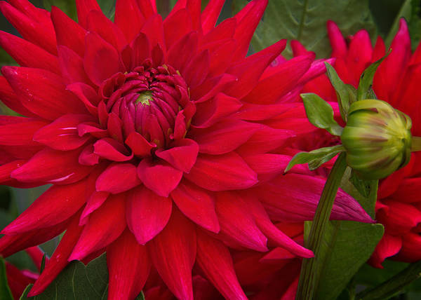 Photograph - Red Dahlia by Jemmy Archer