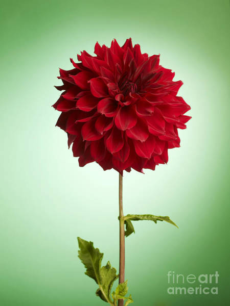 Wall Art - Photograph - Red Dahlia by Tony Cordoza
