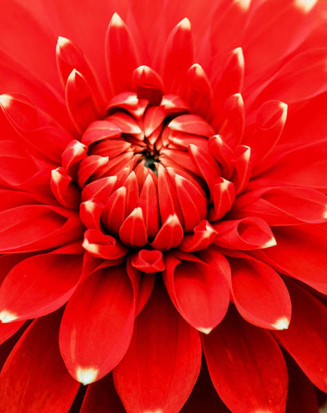 Photograph - Red Dahlia With White Tips by E Faithe Lester
