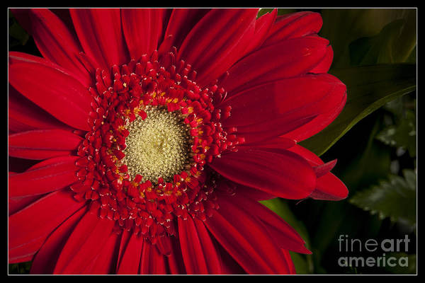 Photograph - Red Daisy 8043.02 by M K Miller