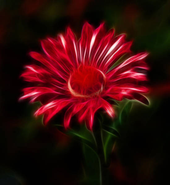 Photograph - Red Daisy by Shane Bechler