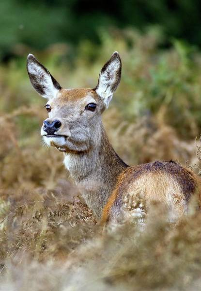 Red Deer Photograph - Red Deer Doe by John Devries/science Photo Library