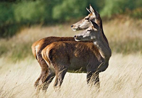 Cervus Elaphus Photograph - Red Deer Does by John Devries/science Photo Library