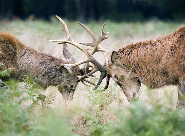 Mating Ritual Photograph - Red Deer Fighting by John Devries/science Photo Library