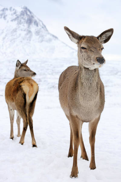 Winter Deer Photograph - Red Deer In The Snow by Grant Glendinning