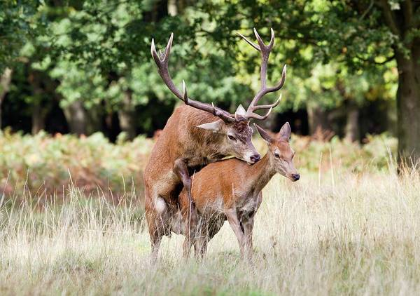 Cervus Elaphus Photograph - Red Deer Mating by John Devries/science Photo Library