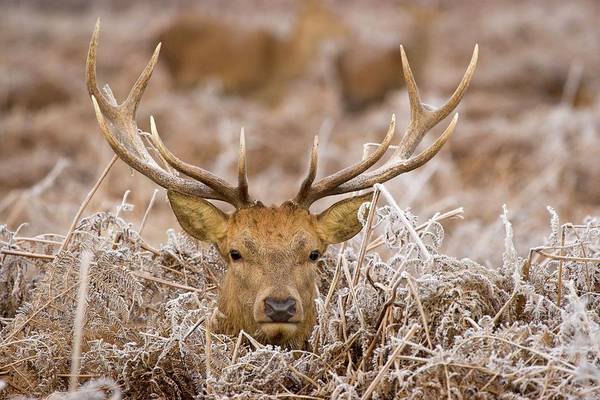 Fern Frost Photograph - Red Deer Stag Amongst Frost-covered Ferns by Gustoimages/science Photo Library