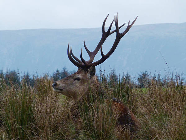 Photograph - Red Deer Stag At Rest by Phil Banks