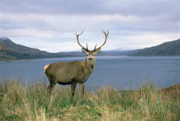 Cervus Elaphus Photograph - Red Deer Stag By Loch by Duncan Shaw/science Photo Library