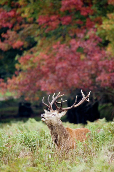 Wall Art - Photograph - Red Deer Stag Calling by John Devries/science Photo Library