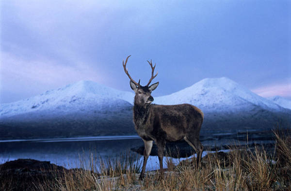 Red Deer Photograph - Red Deer Stag by Duncan Shaw/science Photo Library