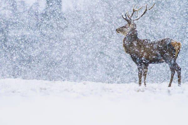 Shooters Wall Art - Photograph - Red Deer Stag In Snowfall Derbyshire Uk by James Shooter