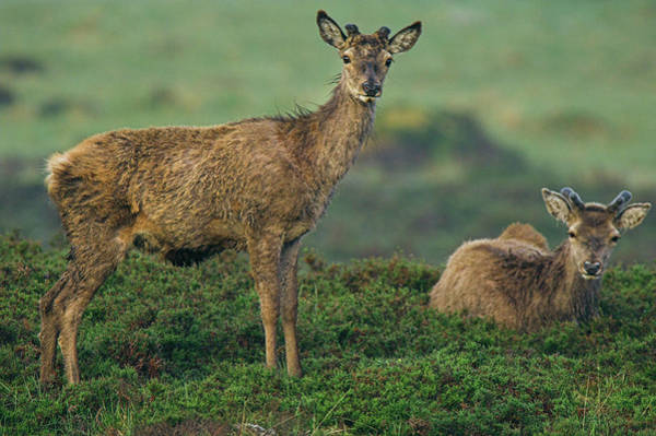 Cervus Elaphus Photograph - Red Deer Stag In Summer by Duncan Shaw/science Photo Library