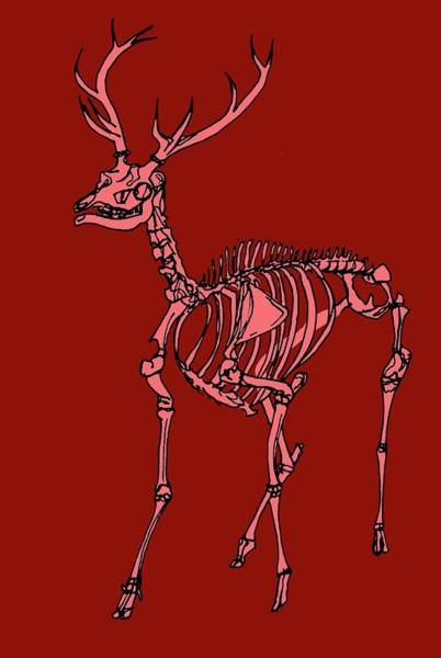 Cervus Elaphus Photograph - Red Deer Stag Skeleton by Claudia Stocker/science Photo Library