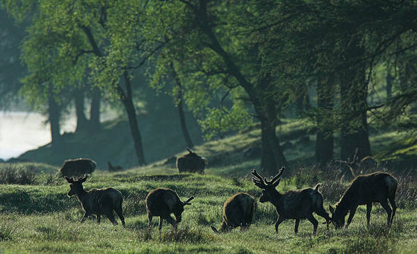 Wall Art - Photograph - Red Deer Stags Grazing by Duncan Shaw/science Photo Library