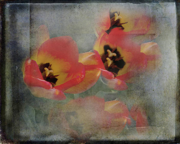 Holland Mi Wall Art - Photograph - Red Diamond Tulips by Evie Carrier