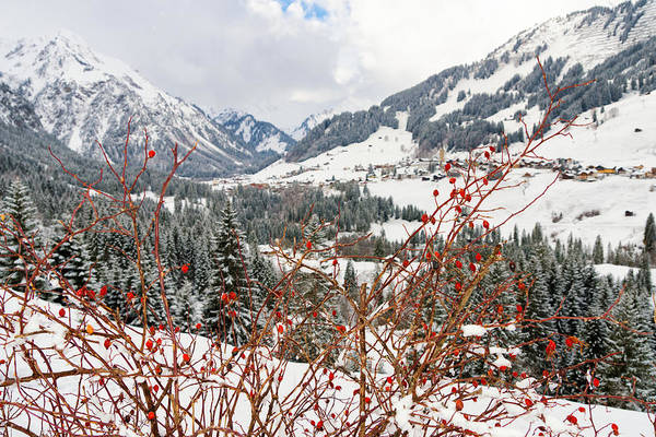 Photograph - Red Dogrose In The Alps Near Mittelberg Kleinwalsertal Austria by Matthias Hauser