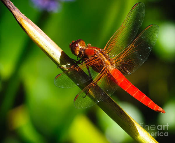 Wall Art - Photograph - Red Dragonfly by Charles Dobbs