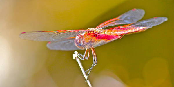 Photograph - Red Dragonfly by Cyril Maza