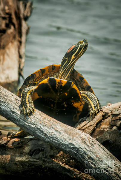 Tortoise Shell Photograph - Red Eared Slider Turtle by Robert Frederick