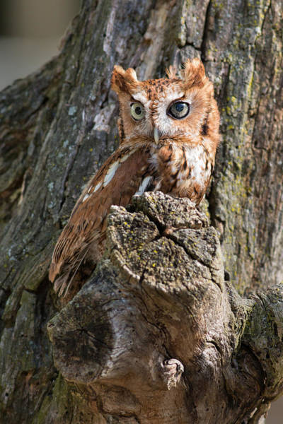 Photograph - Red Eastern Screech Owl by Dale Kincaid