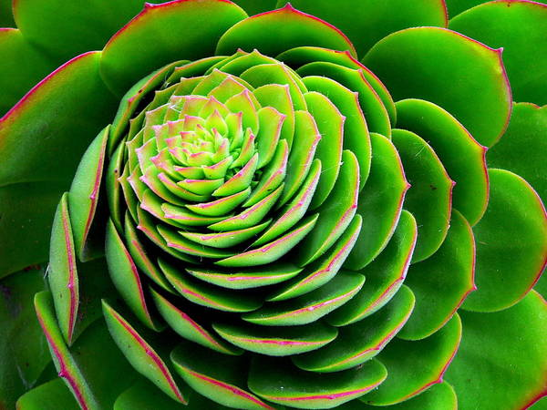 Photograph - Red Edged Succulent by Jeff Lowe