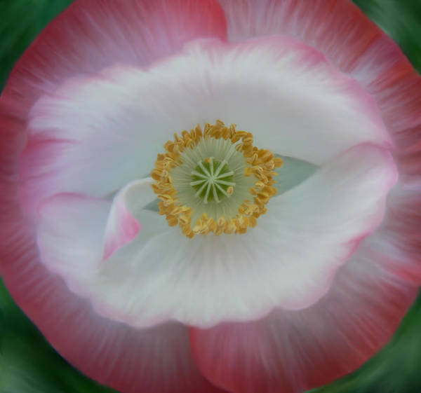 Photograph - Red Eye Poppy by Barbara St Jean