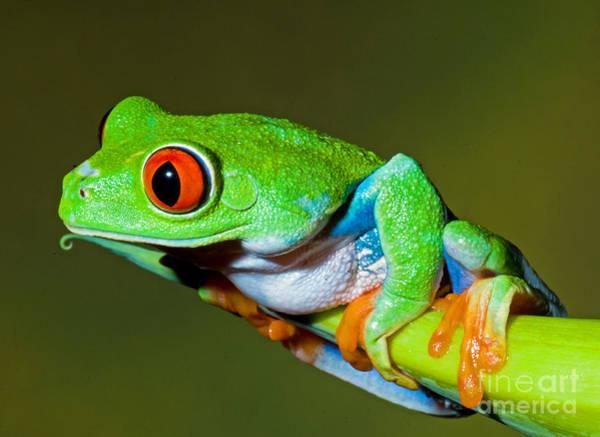 Photograph - Red Eye Tree Frog by Millard H Sharp