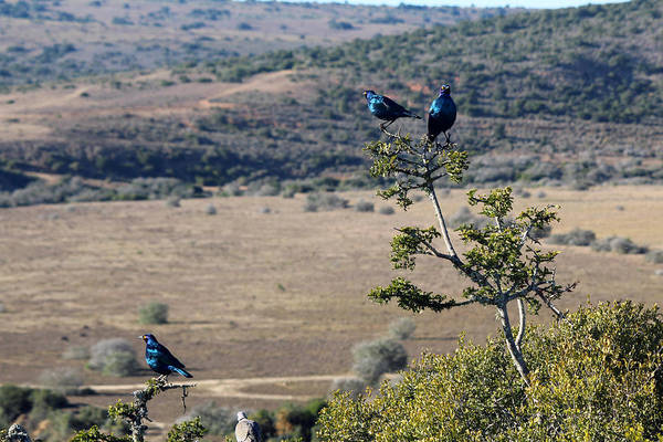 Wall Art - Photograph - Red Eyed Starlings And The Plains by Chris Whittle