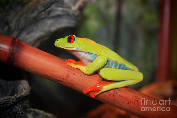 Photograph - Red Eyed Tree Frog by Cathy Beharriell