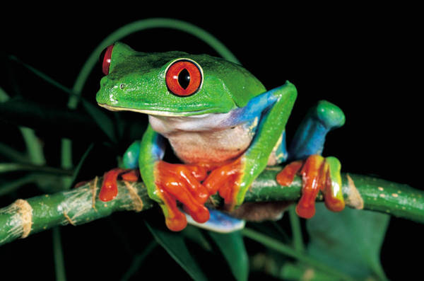 Wall Art - Photograph - Red-eyed Tree Frog by Craig K. Lorenz