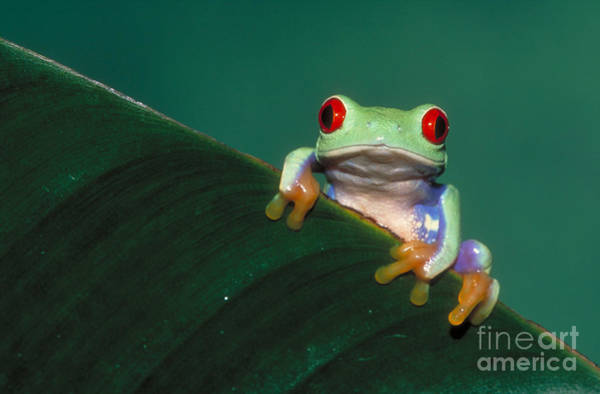 Photograph - Red Eyed Tree Frog by David Davis