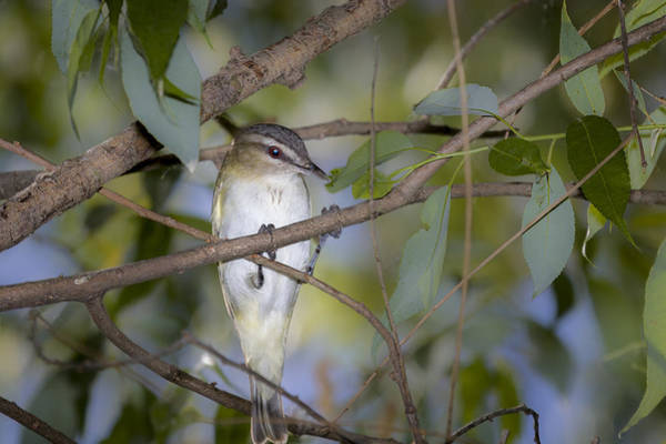 Photograph - Red Eyed Vireo by Jack R Perry