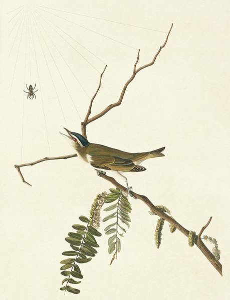 Aquatint Photograph - Red-eyed Vireo by Natural History Museum, London/science Photo Library