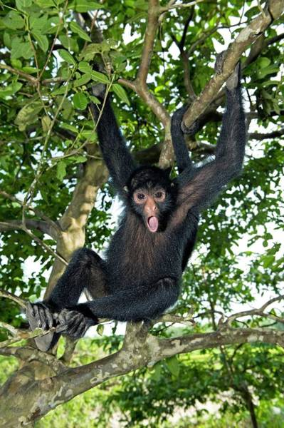 Tree Face Photograph - Red-faced Black Spider Monkey by Tony Camacho/science Photo Library