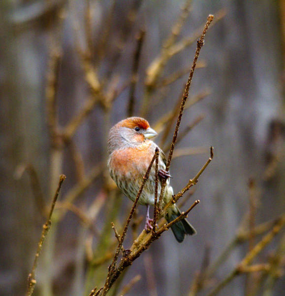 Finch Photograph - Red Find In Tree 2 by Rebecca Cozart