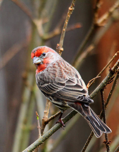 Finch Photograph - Red Finch In Tree 4 by Rebecca Cozart