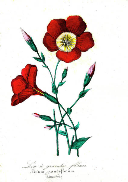 1855 Photograph - Red Flax (linum Grandiflorum) by Collection Abecasis/science Photo Library